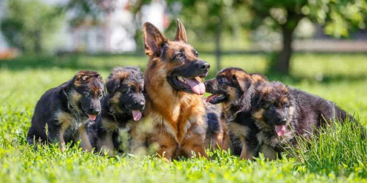 How to Train German Shepherd Puppy?